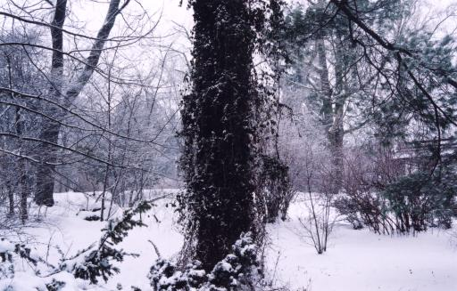 [Photo of Pine tree and leafless plants covered in snow]
