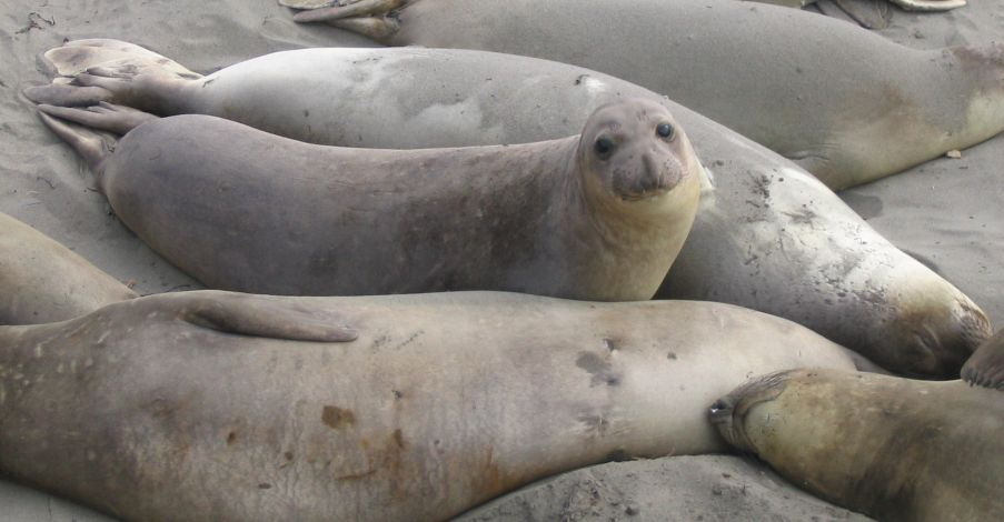 Seals at Piedras Blancas